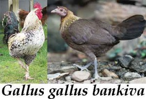 Gallos-bankiva2